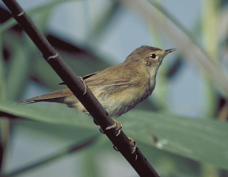 Burung marsh warbler