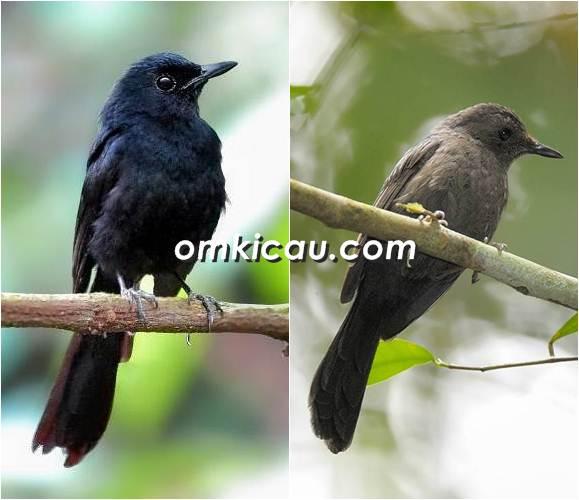 Murai batu hitam jantan (kiri) dan burung betina dengan warna bulu yang hitam kusam