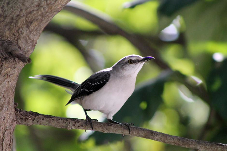 Burung northern mockingbird