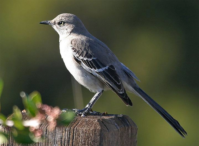 Burung northern mockingbird