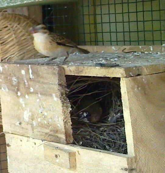 Indukan betina pin-tailed whydah yang diusir oleh indukan emje setelah memakan telur mereka. [ foto dari grup Indonesian Finch di Facebook ]