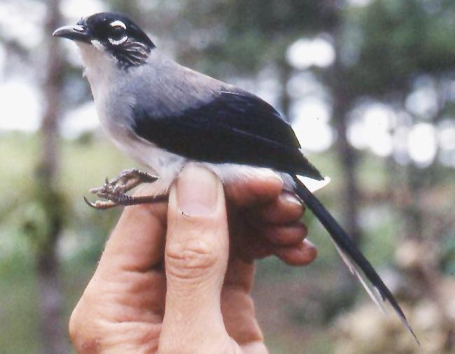 Burung sibia kepala-hitam