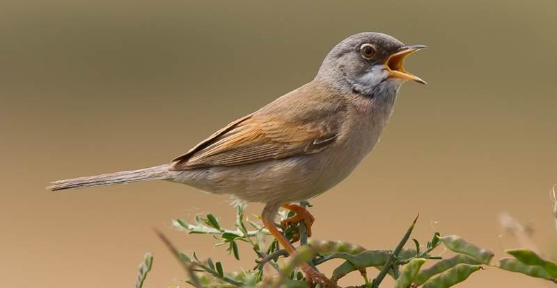 Suara yang bervariasi dari burung jantan sangat menentukan apakah ia akan mendapat pasangan atau tidak
