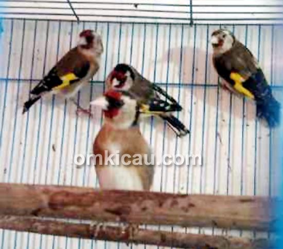 Goldfinch minor
