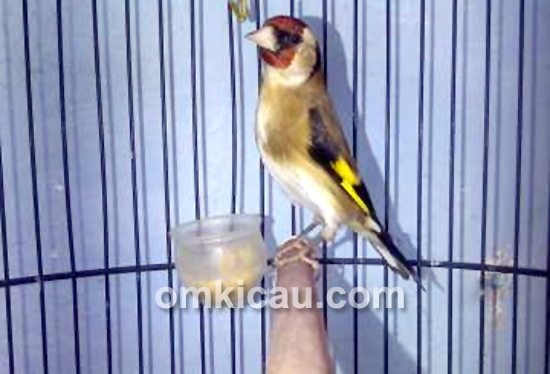 Goldfinch minor