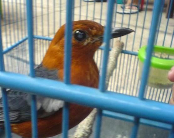 Burung dengan warna bulu kemerahan sangat rentan mengalami katarak