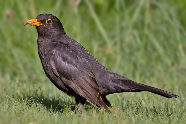 Common black birds