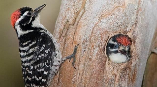 Suara pelatuk banyak digunakan untuk memaster burung kicauan