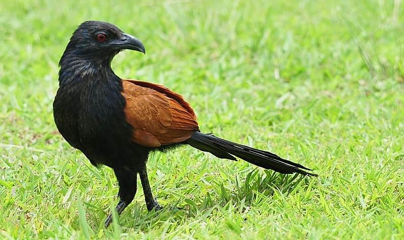 Burung bubut besar (Greater Coucal)