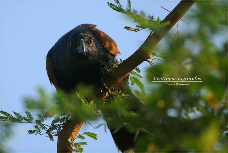 Bubut Jawa ( Javan Coucal)
