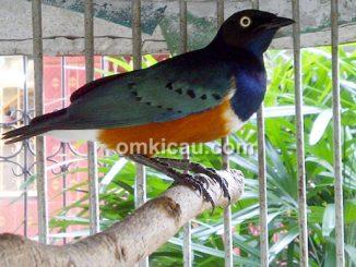 Burung jalak afrika