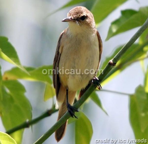 Burung kerakbasi australia