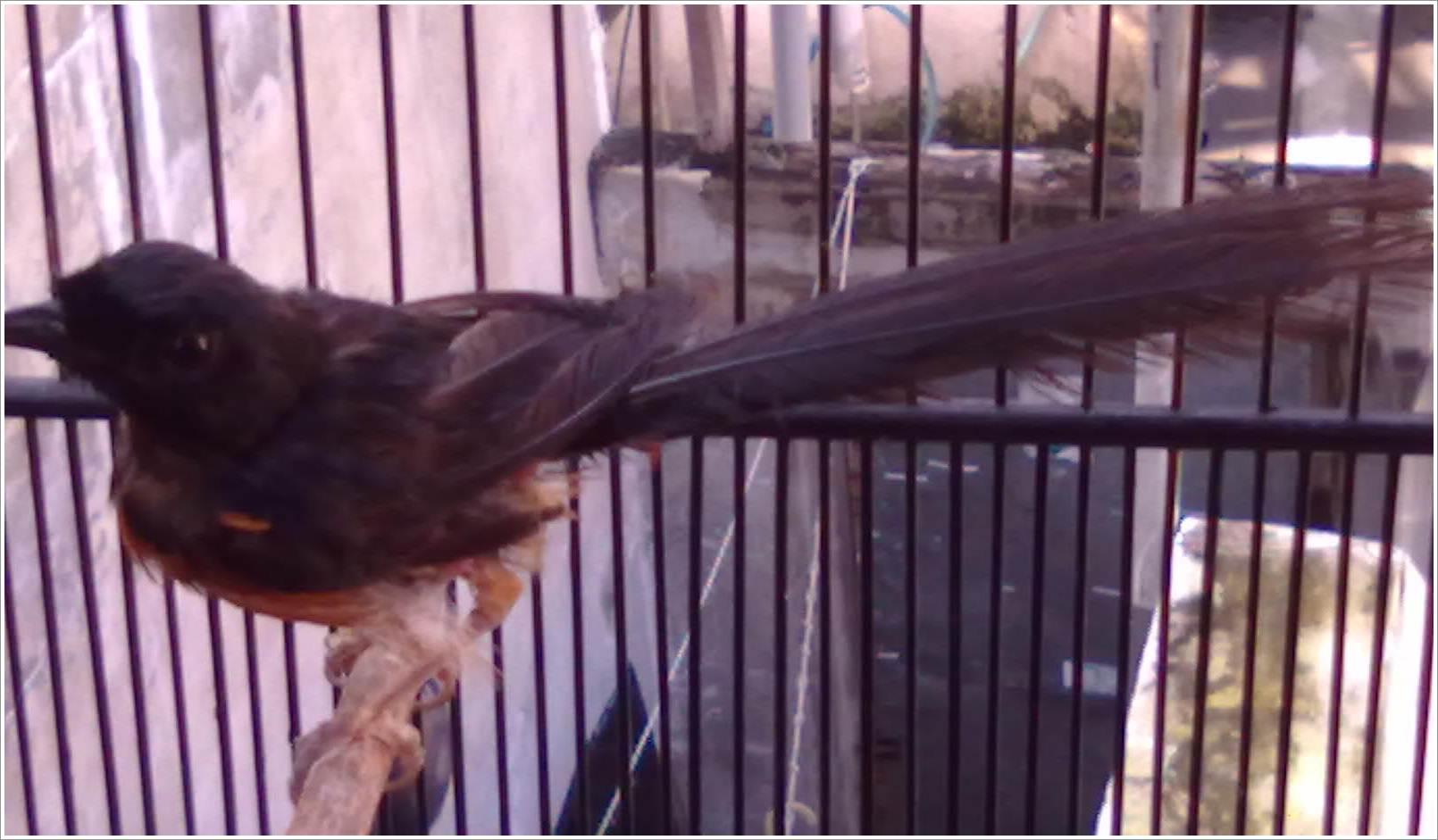 Burung MB dengan bulu rusak akan membuatnya tidak enak dipandang