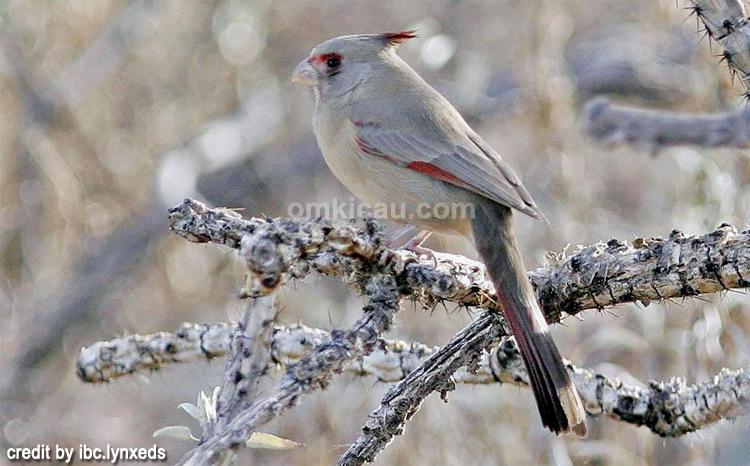 Kicauan burung pyrrhuloxia