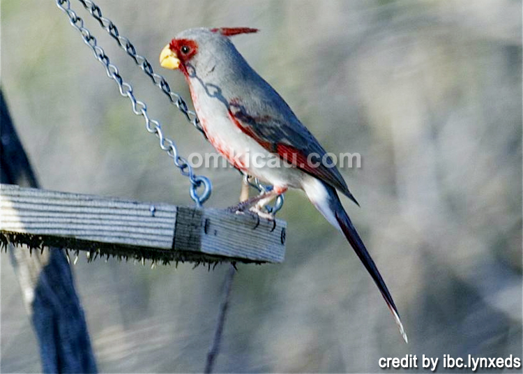 burung pyyrhuloxia