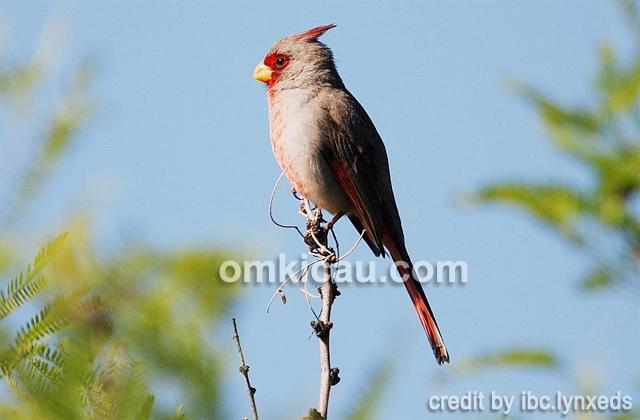 burung pyrrhuloxia2