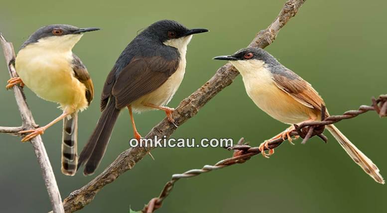 Terdapat lebih dari 24 jenis burung prenjak di seluruh dunia