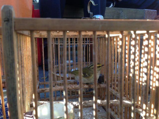 Cikrak pallas atau Pallas leaf warbler yang dijual di sebuah pasar burung di Beijing