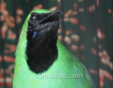 cucak hijau halimun
