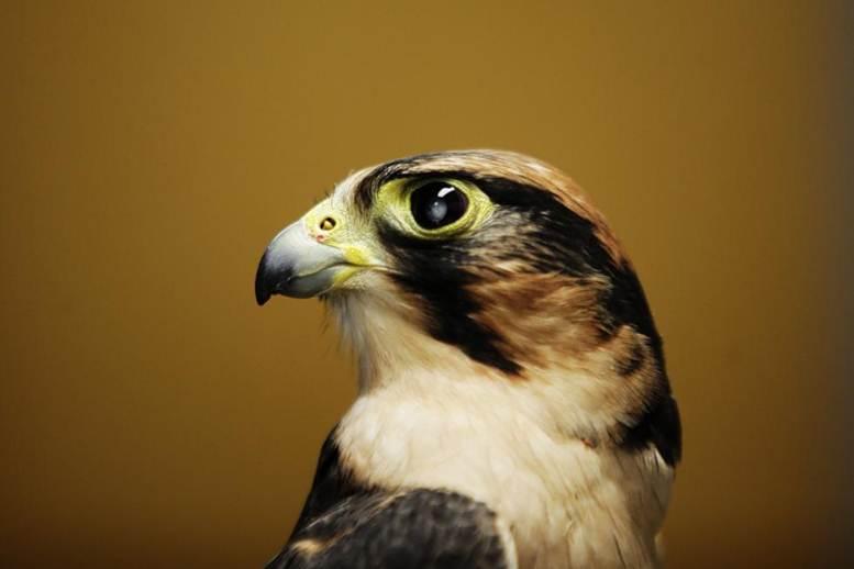 Burung katarak
