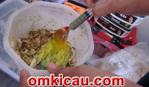 feat breeding lovebird Goes KM