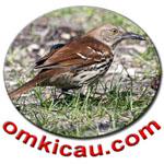 feat brown-thrasher