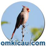 feat burung pyyrhuloxia