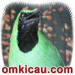 feat cucak hijau halimun