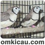 feat owl finch
