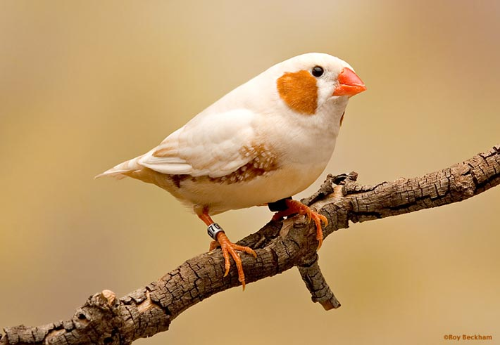Florida fancy zebra finch jantan