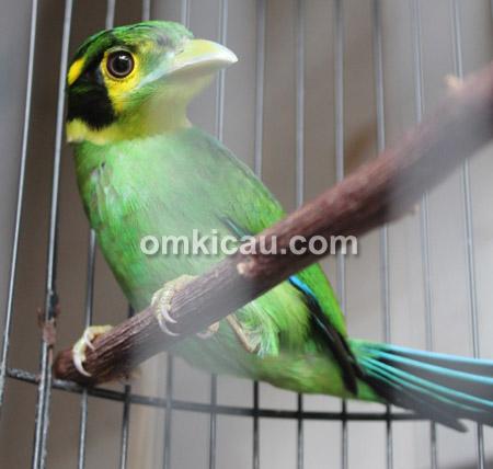 Burung mandi ijab