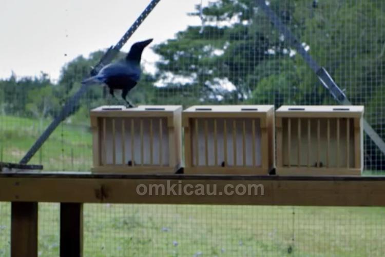 Burung gagak cerdas
