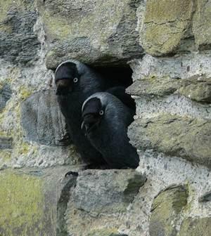 Sarang jackdaw di sebuah lubang di dinding