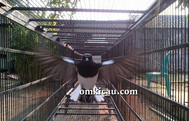 Mengumbar burung di kandang umbaran