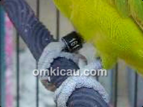 Kode Ring Lovebird Nawang Wulan