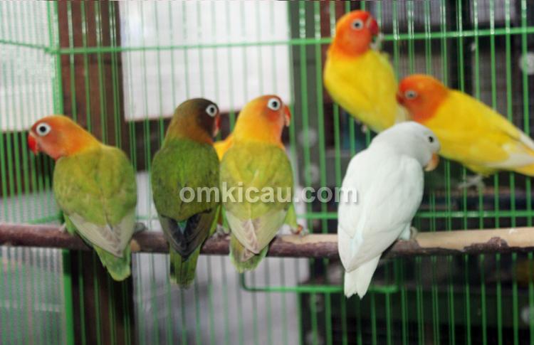 Legenda BF – Lovebird Muda Siap Dipasarkan
