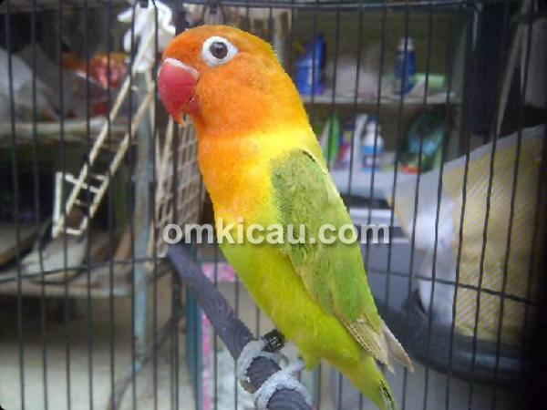 Lovebird Nawang Wulan