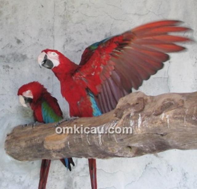 Macaw Mahkota Galery