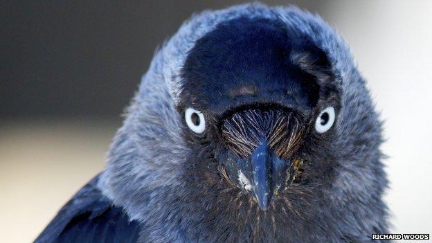 Jackdaws menggunakan tatapan matanya untuk berkomunikasi