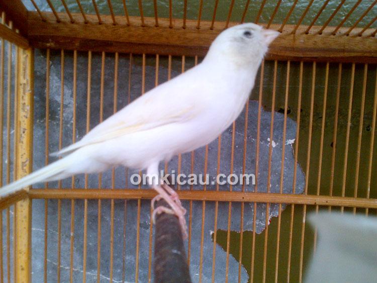 Kenari larquet putih