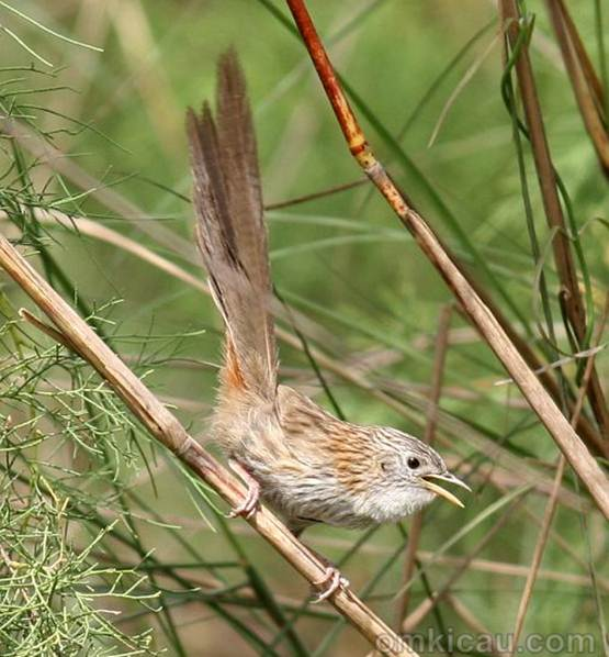 Download Suara Burung Prenjak Enam Spesies Om Kicau