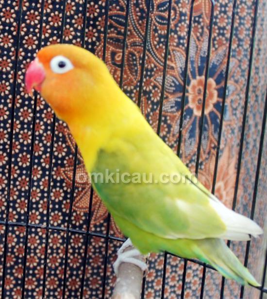 Lovebird Putri Kuning