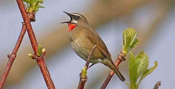 Suara kicauan burung berkecet leher-merah – OM KICAU