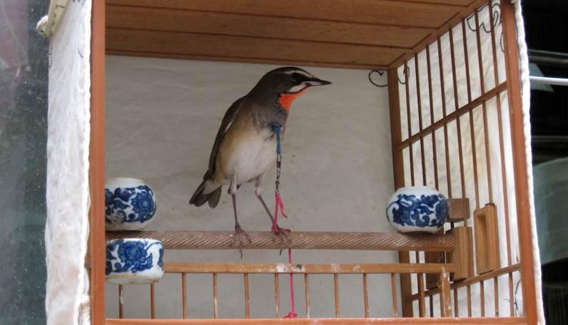 Siberian rubythroat yang dipajang di pasar burung di China