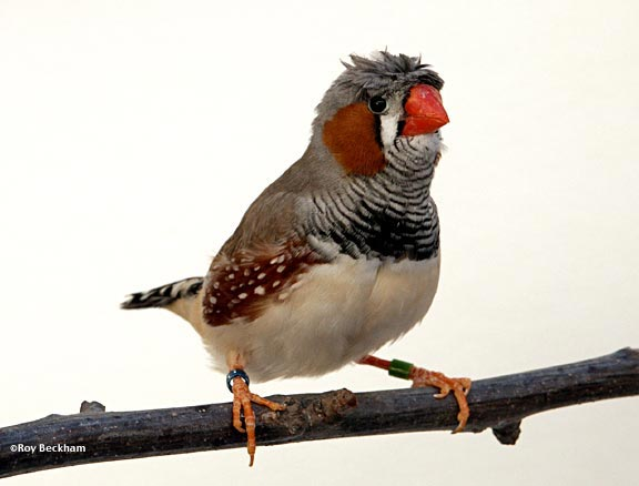 Zebra finch jambul (crested zebra finch)