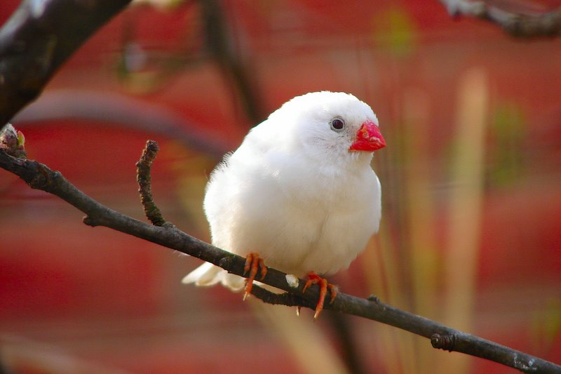 Zebra finch putih ( White zebra finch )