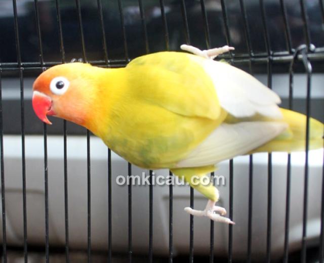 Aksi lovebird Cleopatra-