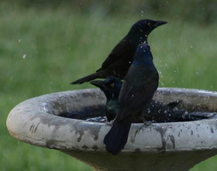 Black bird mandi malam