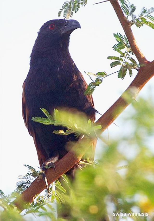 Burung bubut jawa