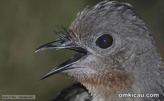 Lyrebird burung lyre yang pintar meniru